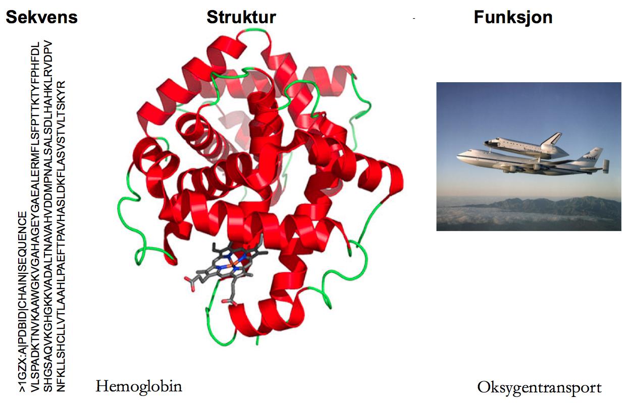 Proteinsekvensen bestemmer en proteinstruktur som er viktig for proteinets funksjon