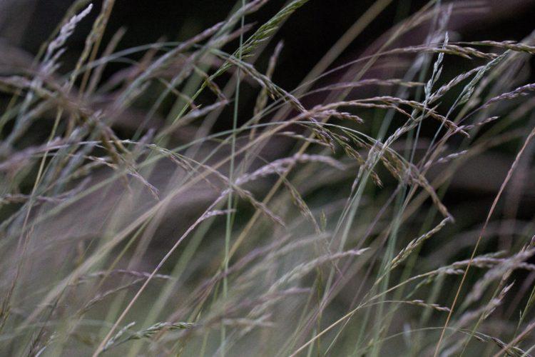 Hvordan skal gresset overleve klimaendringene?