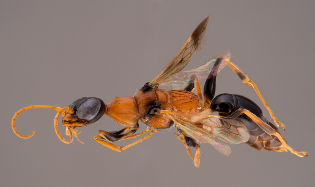 """Ampulex dementor holotype"" by Bernard Schurian - Ohl M, Lohrmann V, Breitkreuz L, Kirschey L, Krause S (2014) The Soul-Sucking Wasp by Popular Acclaim – Museum Visitor Participation in Biodiversity Discovery and Taxonomy. PLoS ONE 9(4): e95068. doi:10.1371/journal.pone.0095068. Licensed under CC BY 4.0 via Wikimedia Commons - http://commons.wikimedia.org/wiki/File:Ampulex_dementor_holotype.png#mediaviewer/File:Ampulex_dementor_holotype.png"