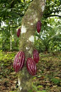 Dersom sjokoladeknotten lykkes med pollineringen, blir det kakaofrukter.  Foto: Shutterstock