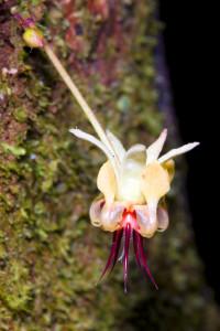 Kakaoblomsten vokser rett på stammen. Foto: Shutterstock