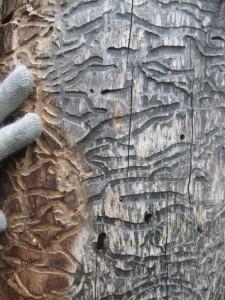 Gnag1 - small Rusticoclytus rusticus gnag på ospestamme i Nordmarka - fotograf Rannveig M. Jacobsen