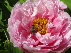 Pioner tilbyr god mat for bier og humler