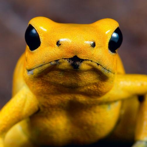 Frosken du ikke vil kysse – om dødelig nervegift og morgendagens medisin