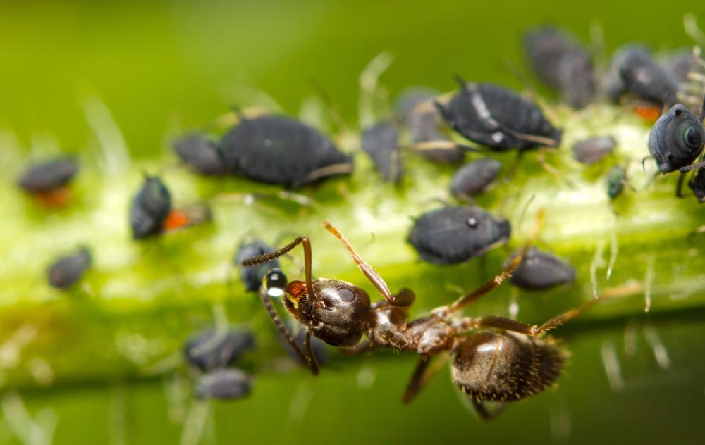 Maur slurper i seg store mengder sukkervann fra bladlus