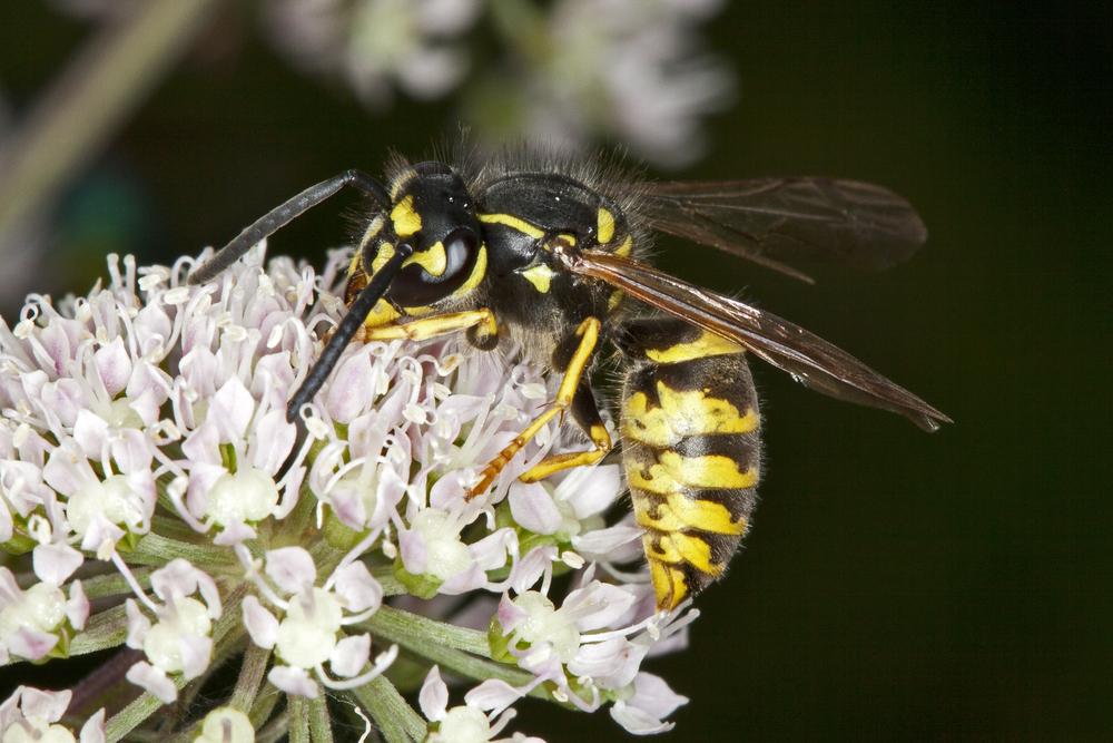 Stikkeveps med søtsug kan pollinere blomster
