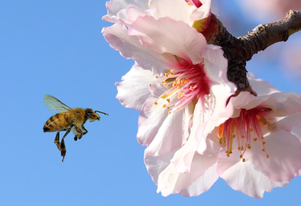 En honningbie på jobb for å pollinere mandelblomster