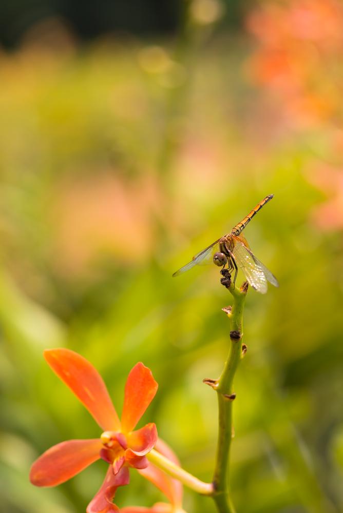 En migrerende øyenstikkere tar en fortjent rast på en orkide