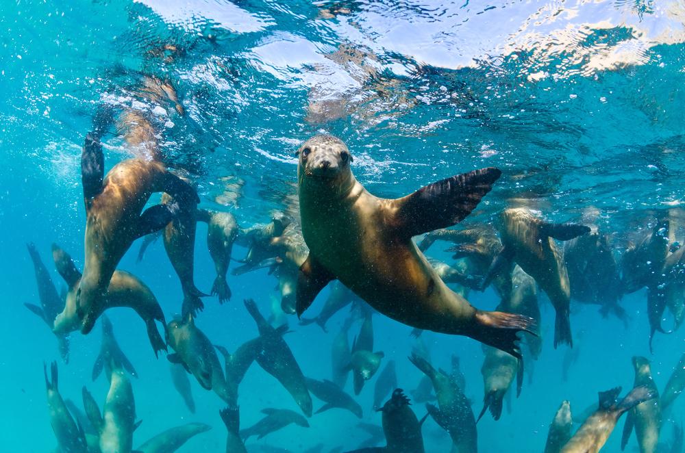 «Erre noe problem a?» Sjøløver har klart overgangen tilbake til havet helt fint. Foto: Shutterstock