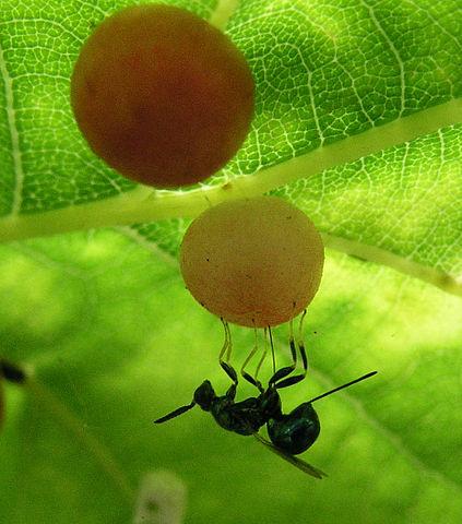 Gallevepsens larver lever inni galler, som er en slags svulster som gallevepsen får planten til å lage. «Sluipwesp op eikengal». Lisensiert under CC BY-SA 3.0 via Wikimedia Commons