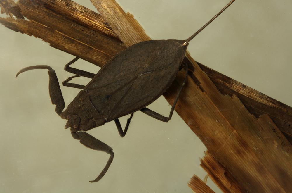 Vannskorpionen er ikke farlig for oss, men mindre insekter bør passe seg.