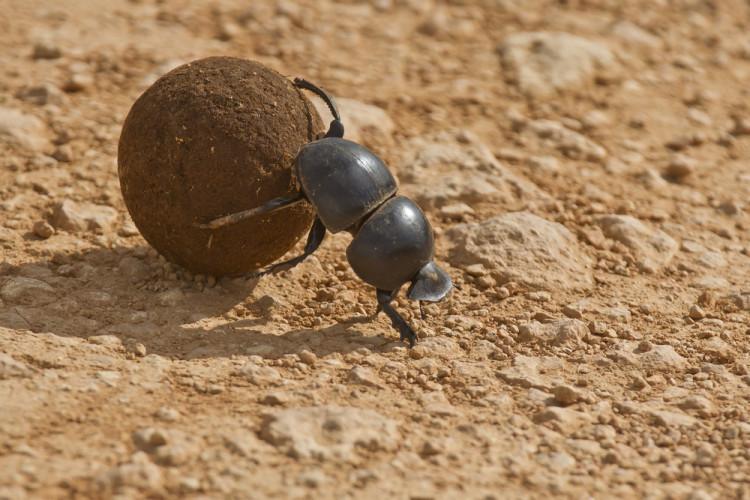 Dritbra frø lurer møkkbille