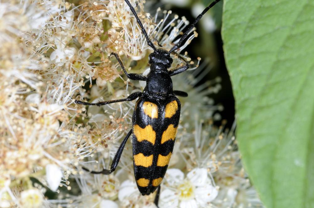Blomsterbukken (Leptura quadrifasciata) sin larve ser vi sjelden, den lever i død ved fra løvtrær.