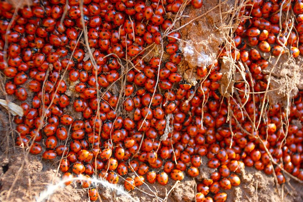 Sjuprikket marihøne kan samle seg i kolonier for å holde varmen