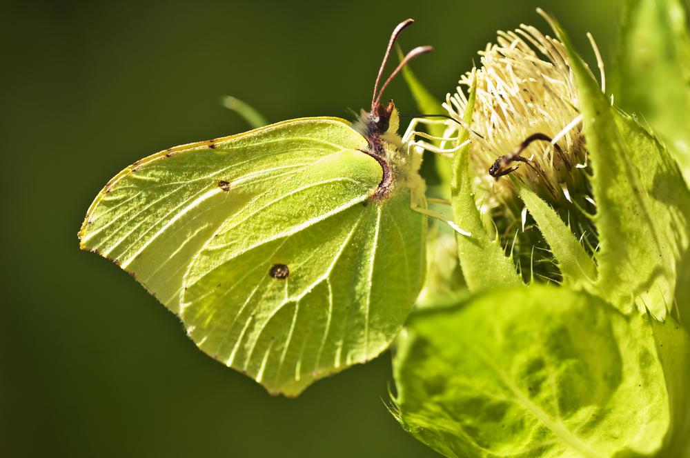 Sitronsommerfuglen overvintrer som voksen og er derfor tidlig på pletten om våren