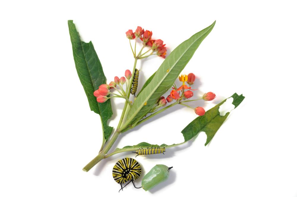 Monarksommerfugl-larvene lever på arter av silkeurt