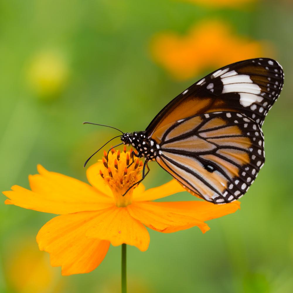 En monarksommerfugl suger nektar