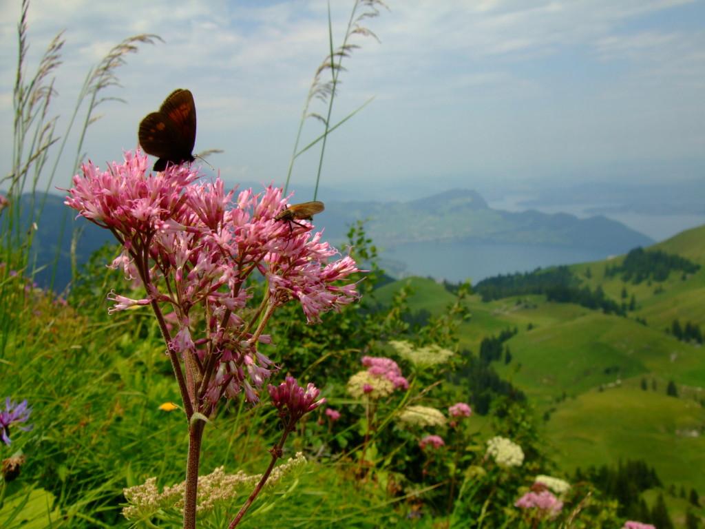 Sommerfugler, fluer, biller og andre insekter som ikke er bier er også viktige for pollinering - både av avlinger og villblomster. Foto: AS-T