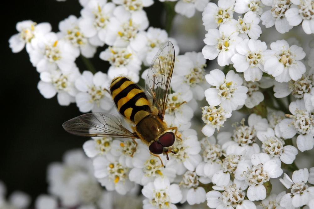 Stor droneflue minner unektelig om en honningbie som voksen.