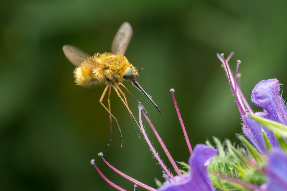 Fluer kan henge stille i lufta akkurat som et helikopter. Det kan ikke humler og bier. Denne hårete flua er en humleflue.