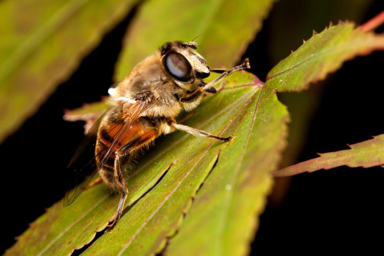 Kloakkdyr i honningbiepels og biemordere i humledrakt