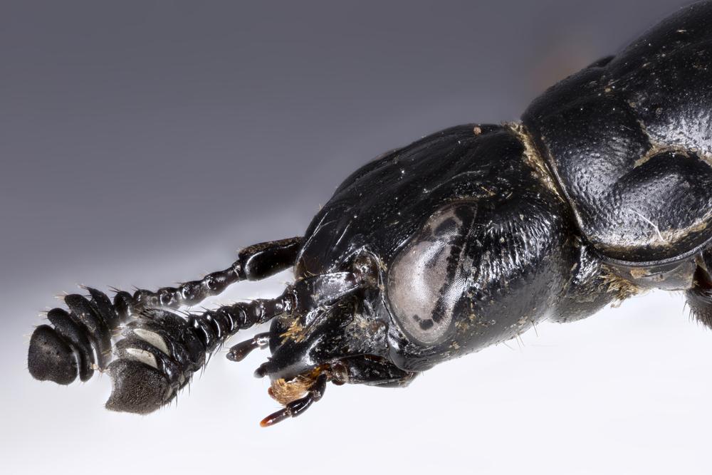 Antennene til åtselgraverne kan oppfatte lukt fra åtsel på lang avstand
