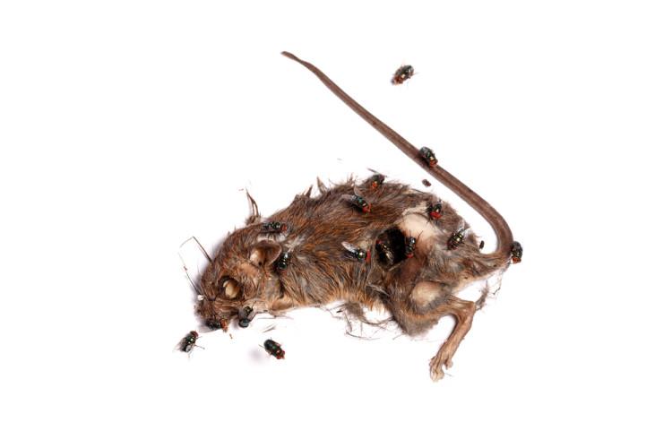 Fluer og biller på åtselparty