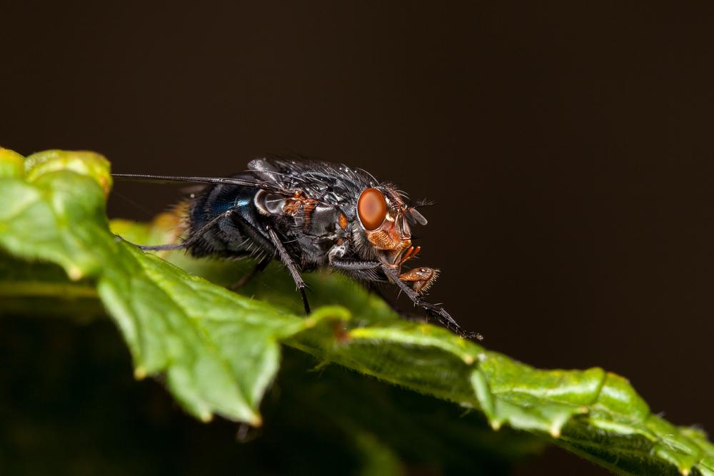 Rødkinnet spyflue (Calliphora vicina) er kjapt ute for å legge egg på åtsler