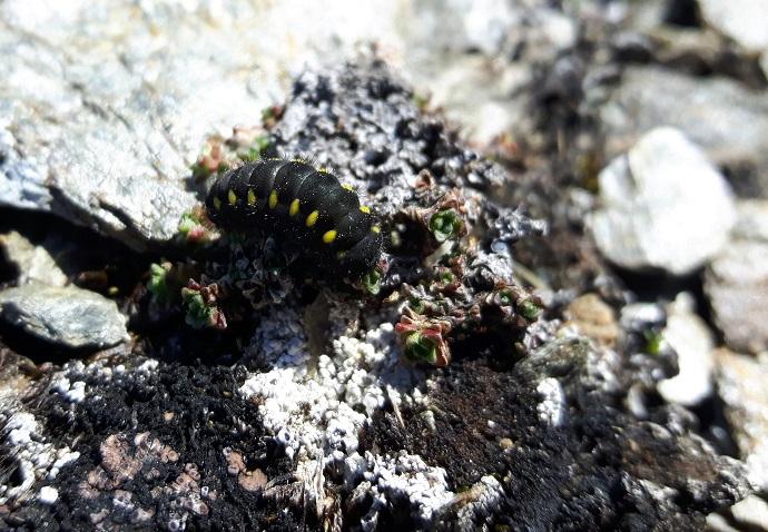 Bloddråpesvermernes larver er aktive rett etter at snøen har gått. Foto: Ruben Roos.