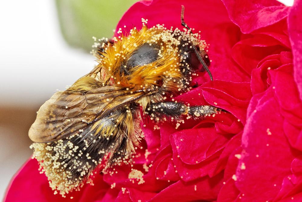 pollenbie