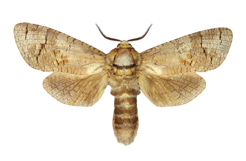 Løvtredreperen kan ha et vingespenn på opptil 9 cm som voksen. Foto: Shutterstock