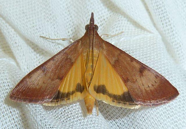 Sommerfuglen Uresiphita polygonalis overlever ikke der det er for mye veps