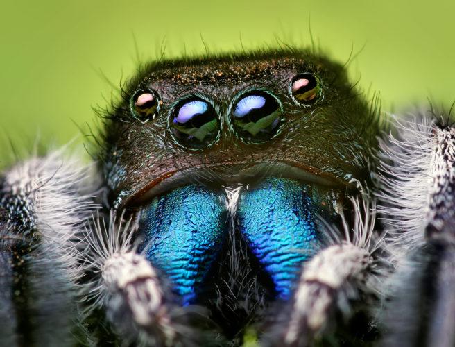 Edderkopper spiser 400-800 millioner tonn med byttedyr i året