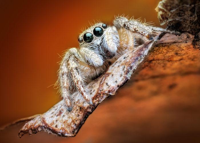 Edderkoppenes trynefaktor