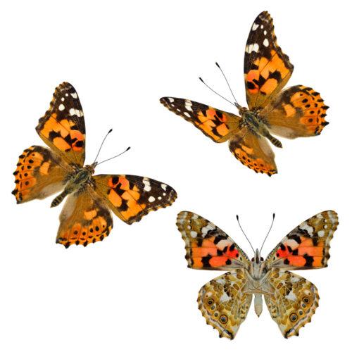 Tistelsommerfugl - insektenes globetrotter