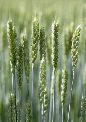 Vi feirer kartleggingen av hvetegenomet!