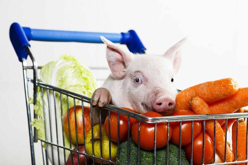 Er svin blitt usunt? Foto: Giske Bjørneby /NMBU