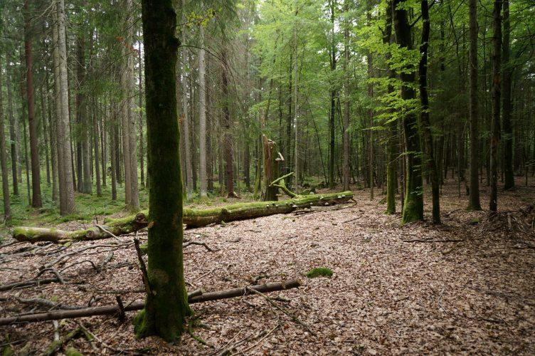 Blir Norge dekka av bøkeskog i framtida?